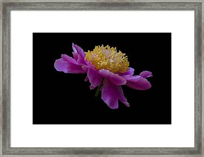 Peony Number One Framed Print
