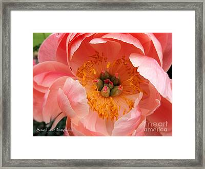 Peony Perfect Framed Print