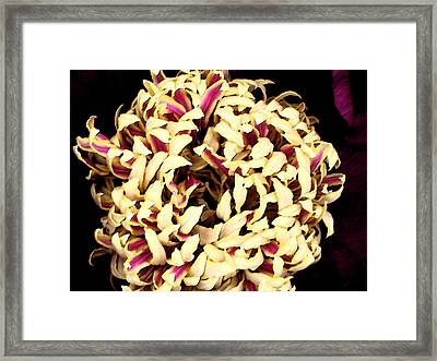 Peony Perfection Framed Print by Yvonne Scott