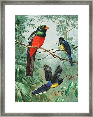 Perched And Flying Trogons Are Seen Framed Print by Walter A. Weber