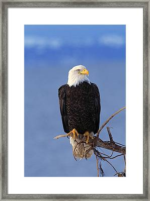 Perched Bald Eagle Framed Print by Natural Selection David Ponton