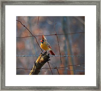 Framed Print featuring the photograph Perched Cardinal by Brian Stevens