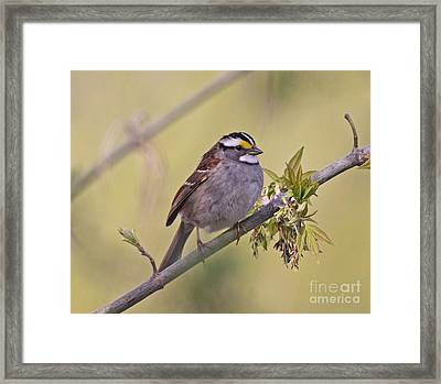Perched White-throated Sparrow Framed Print by Chris Hill