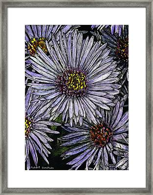 Perennial Asters Framed Print by Robert Goudreau