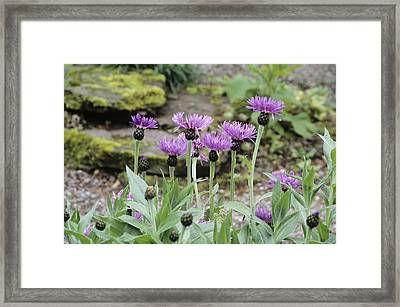 Perennial Cornflowers 'parham' Framed Print by Archie Young