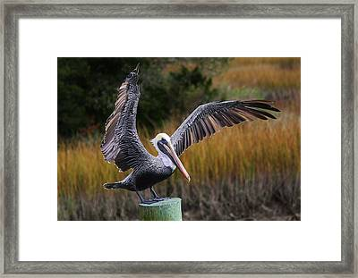 Perfect Pelican Framed Print by Paulette Thomas