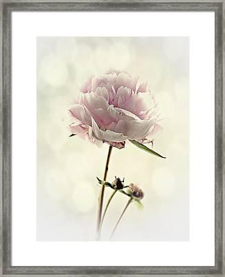 Perfect Peony Framed Print by Amanda Finan