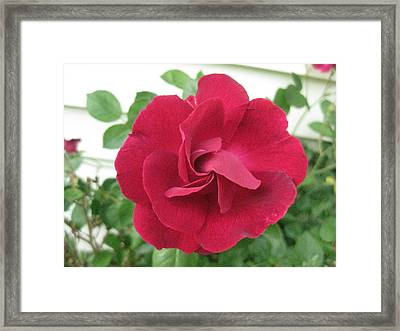 Framed Print featuring the photograph Perfect Red Rose by Judy Via-Wolff