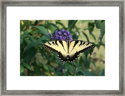 Perfectly Aligned Butterfly On Butterfly Bush Framed Print by Bonnie Boden