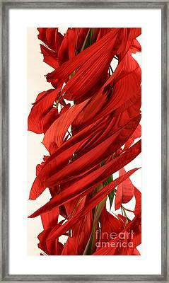 Peripheral Streak Image Of A Poinsettia Framed Print by Ted Kinsman