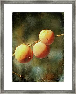 Persimmons Framed Print by Amy Tyler