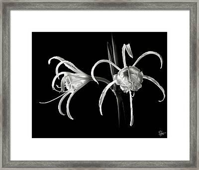 Peruvian Daffodil In Black And White Framed Print