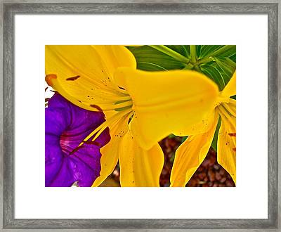 Pet Lily Framed Print by Randy Rosenberger