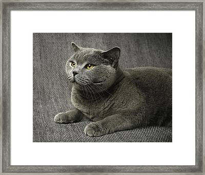 Pet Portrait Of British Shorthair Cat Framed Print by Nancy Branston