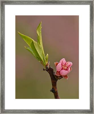 Petite Peach Framed Print by JD Grimes