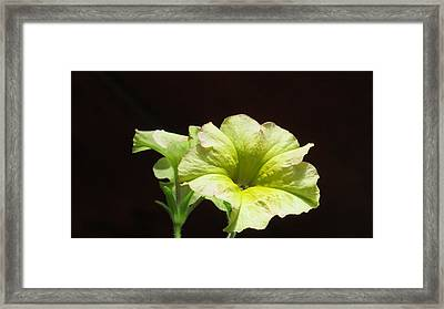 Petunia Light Framed Print