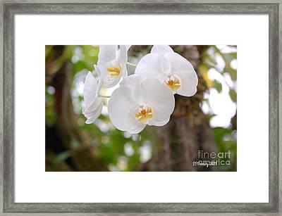 Phalaenopsis Aphrodite Moon Orchid Framed Print