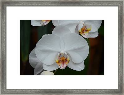 Phalaenopsis Orchid Framed Print by Michael Carrothers
