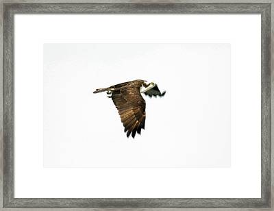 Phantom Of The Osprey Framed Print