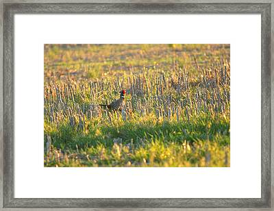Framed Print featuring the photograph Pheasant Into The Light by Shirley Heier