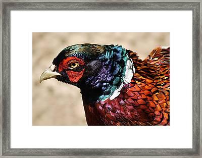 Pheasant Framed Print by Paulette Thomas
