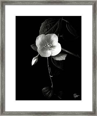 Philadelphus In Black And White Framed Print