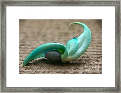 Phillipine Jade-vine Flower Framed Print