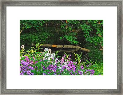 Phlox Along The Creek 7185 Framed Print by Michael Peychich