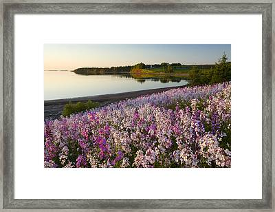 Phlox Flowers Growing On Banks Of New Framed Print