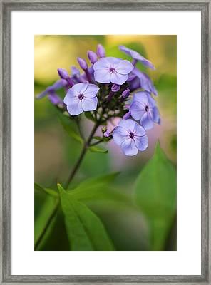 Phlox Paniculata Framed Print by Maria Mosolova