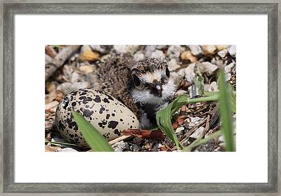 Killdeer Baby - Photo 25 Framed Print