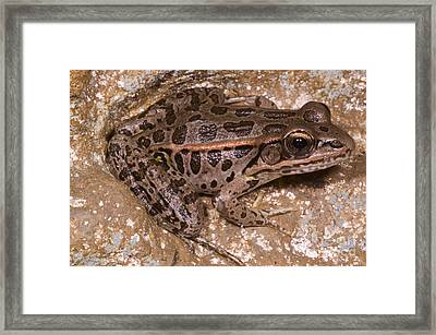 Pickerel Frog Framed Print by Dante Fenolio