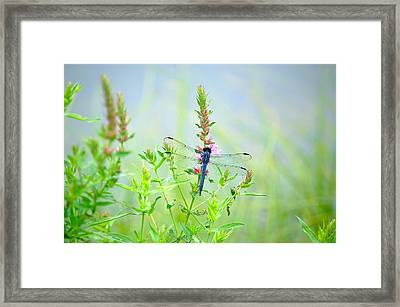 Picture Perfect Skimmer Dragonfly Framed Print