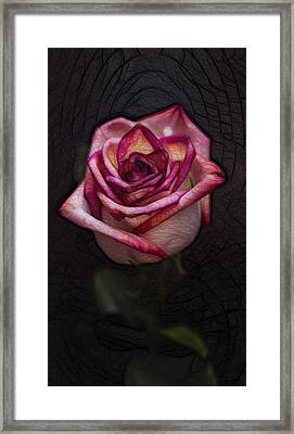 Picturesque Satin Rose Framed Print by Linda Tiepelman