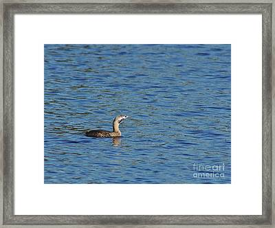Pied-billed Grebe Looks Up Framed Print