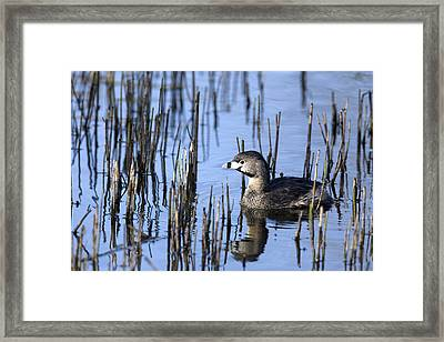 Pied-billed Grebe, Montreal Botanical Framed Print by Philippe Henry