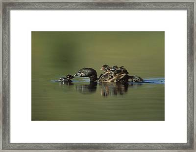 Pied Billed Grebe Parent With Two Framed Print by Tim Fitzharris