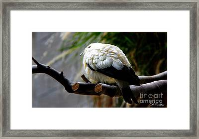 Framed Print featuring the photograph Pied Imperial Pigeon by Davandra Cribbie