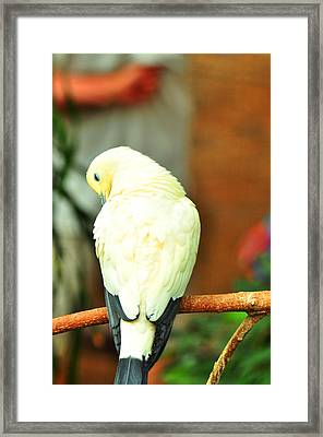 Framed Print featuring the photograph Pied Imperial Pigeon by Puzzles Shum