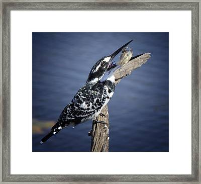Pied Kingfisher Eating Framed Print by Ronel Broderick
