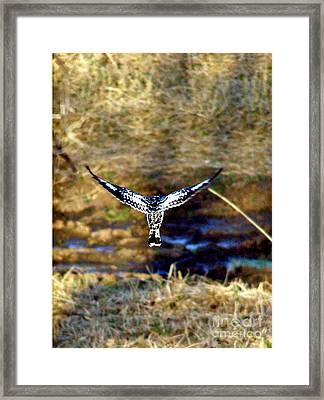 Pied Kingfisher In Flight Framed Print by Louise Peardon