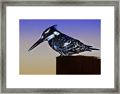 Pied Kingfisher Framed Print by Ronel Broderick