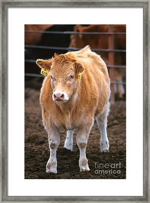 Piedmontese-hereford Crossbred Calf Framed Print by Science Source