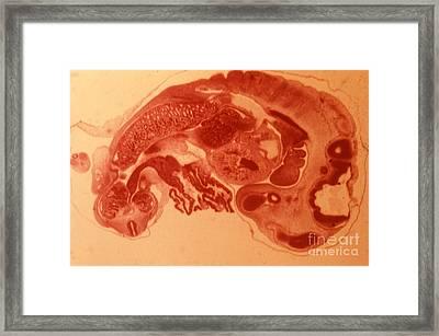 Pig Embryo Framed Print