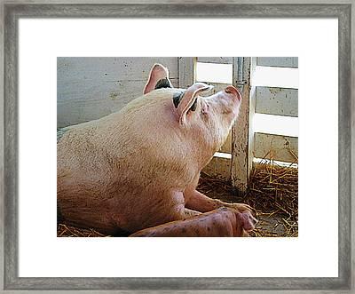 Pig Enjoying The Sun Framed Print