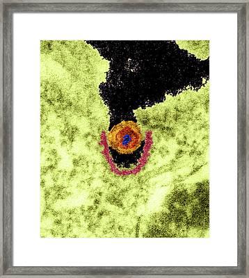 Pig Retrovirus, Tem Framed Print by Dr Klaus Boller