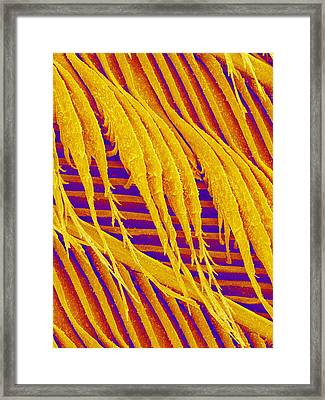 Pigeon Feather, Sem Framed Print by Susumu Nishinaga