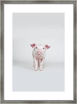 Piglet, Studio Shot Framed Print