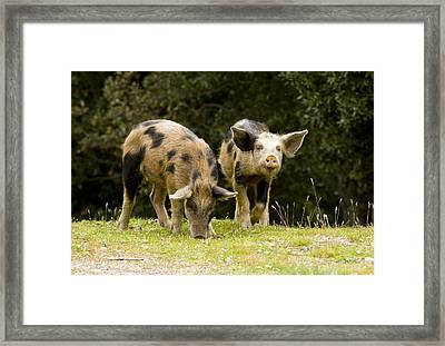 Piglets Foraging In Woodland Framed Print by Bob Gibbons