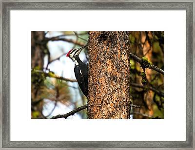 Pileated Woodpecker - Dryocopus Pileatus Framed Print by Merle Ann Loman